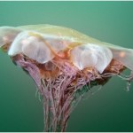 medusa melena de leon
