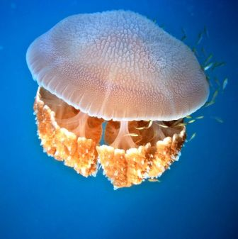 medusa bella